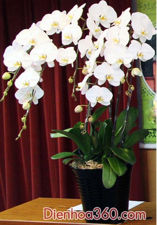Cửa hàng bán hoa lan hồ điệp – chậu lan hồ điệp rẻ