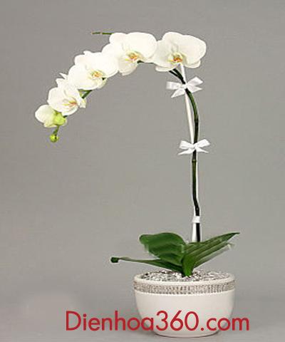 Bán hoa lan hồ điệp – hoa sinh nhật tặng sếp