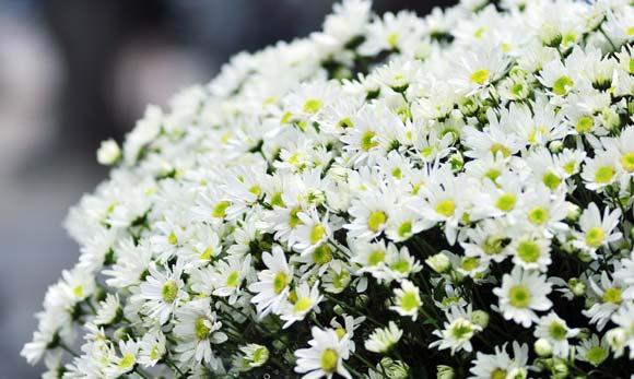 cuc hoa my
