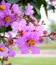 Sự tích hoa bằng lăng, ý nghĩa hoa bằng lăng, điện hoa