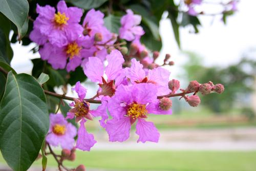 Hình ảnh đẹp hoa bằng lăng