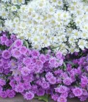 Hoa thạch thảo và truyền thuyết của hoa