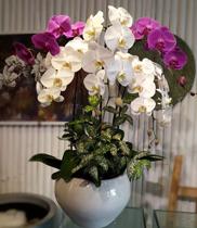 Lan hồ điệp tím trắng-Cửa hàng hoa tươi quận bình tân