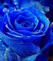 Ý Nghĩa Hoa Hồng Xanh, ý nghĩa các loài hoa, hoa tươi, dịch vụ điện hoa, điện hoa giá rẻ, hoa sinh nhật, hoa chúc mừng