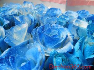 hoa hong xanh dep (1)