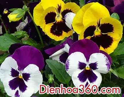 dienhoa-hoaviola (1)