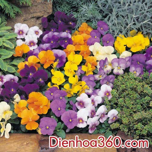 dienhoa-hoaviola (2)