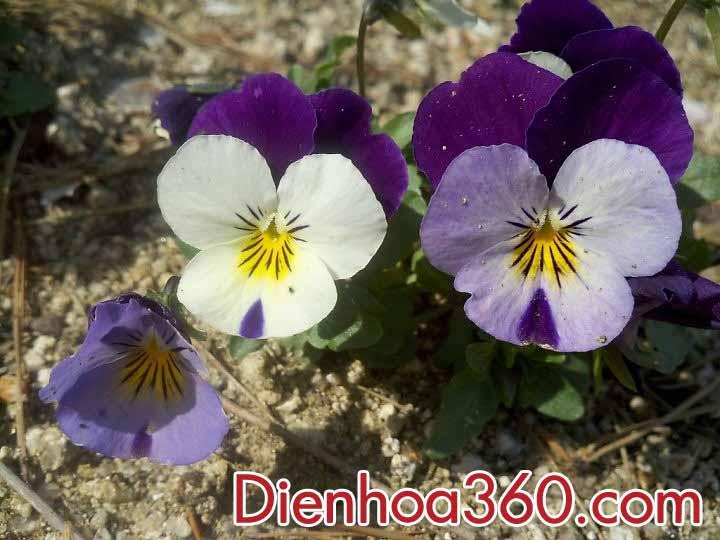 dienhoa-hoaviola (3)