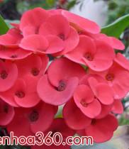 ý nghĩa các loài hoa – ý nghĩa hoa sương rồng bát tiên