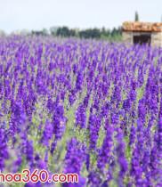 Hoa phi yến-ý nghĩa và sự tích hoa phi yến