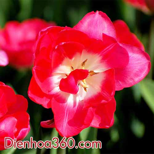 ban-hoa-tulip