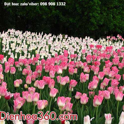 canh-dong-hoa-tulips