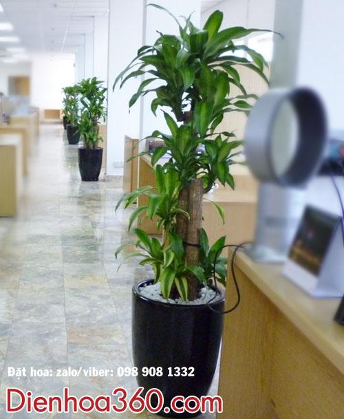 Cây xanh văn phòng-cây thiếp mộc lan