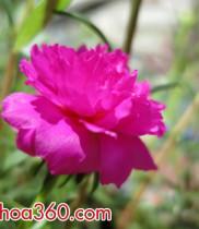 Bí Quyết trồng hoa mười giờ – cách trồng giỏ hoa tươi đẹp