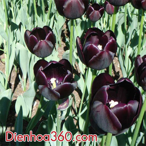 hoa-tulip-den