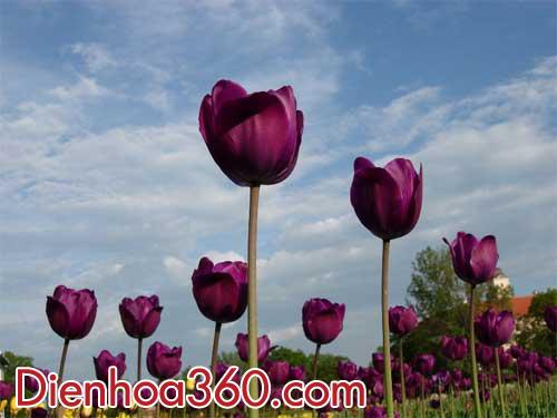 hoa-tulip-tim