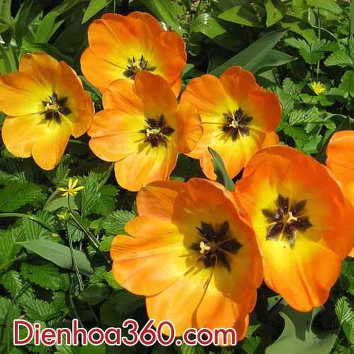 hoa-tulips-cam