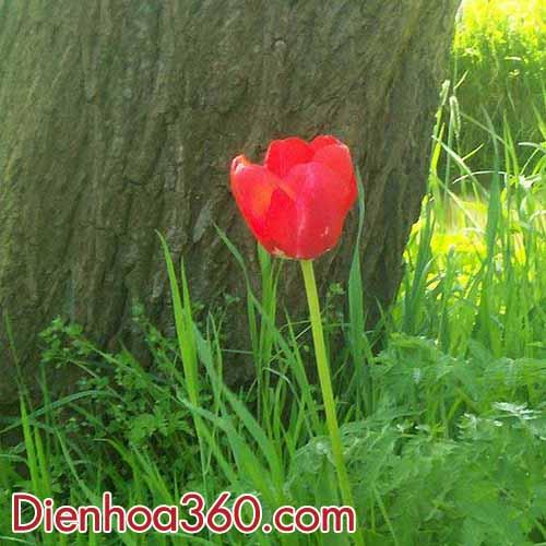 hoa-tulips-hoang-da