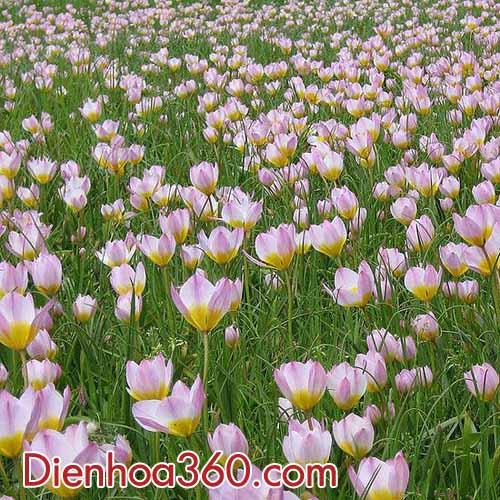 hoa-tulips-nau