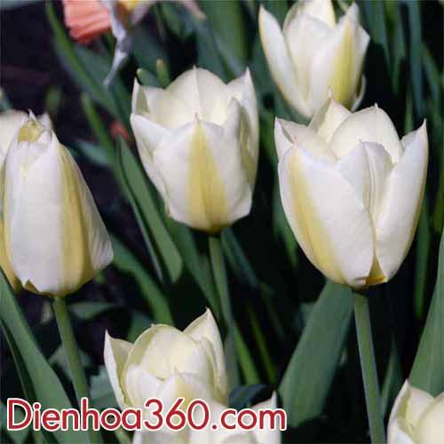 hoa-tulips-trang