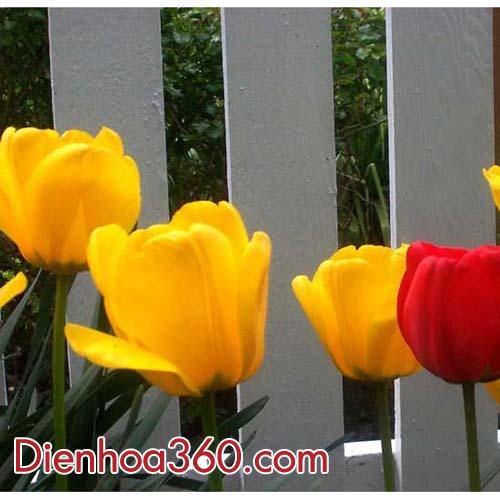 hoa-tulips-vang