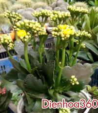 Ý nghĩa hoa sống đời – ý nghĩa các loài hoa