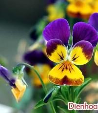 Ý nghĩa hoa bướm – ý nghĩa hoa păng-xê
