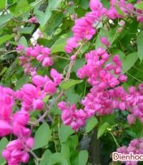 ý nghĩa hoa Tigon  – ý nghĩa các loài hoa