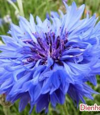 Ý nghĩa hoa thanh bình-ý nghĩa các loài hoa