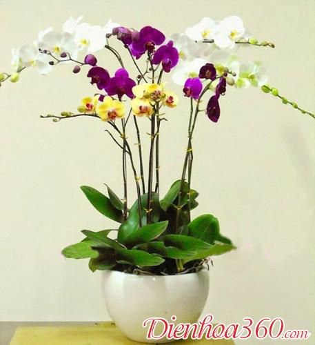 Chậu lan hồ điệp đẹp   mẫu hoa sinh nhật