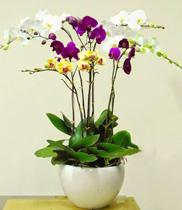 Chậu lan hồ điệp đẹp | mẫu hoa sinh nhật