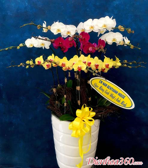 Hoa lan hồ điệp giá rẻ đẹp