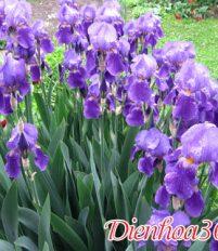 Hoa diêm vĩ – hoa iris ý nghĩa và nguồn gốc