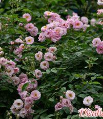 Sự tích và ý nghĩa của hoa tầm xuân