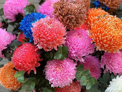 Tặng hoa cúc mẫu đơn món quà ấn tượng