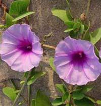 shop hoa giới thiệu ý nghĩa của hoa,Truyền thuyết hoa Quỳnh